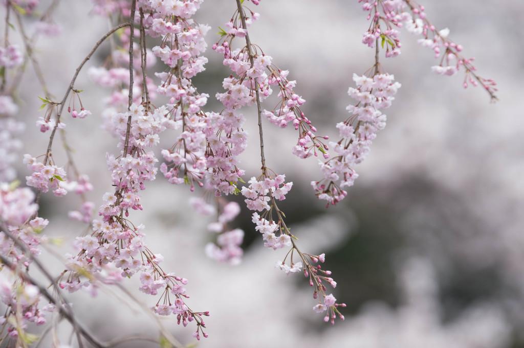 善福寺の桜140406_02