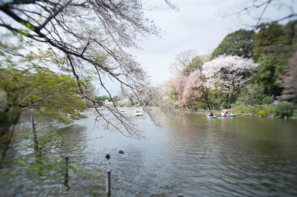 善福寺の桜140406_03